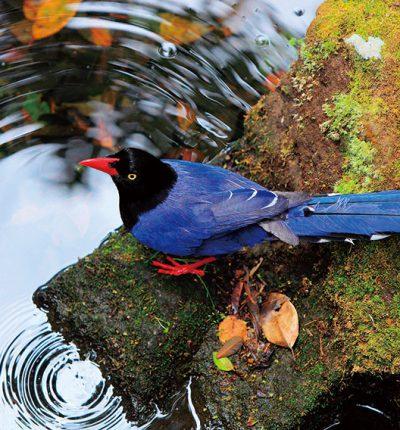明信片 藍鵲