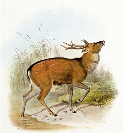 台灣梅花鹿 Formosan sika deer