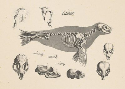 Animal skeleton postcard