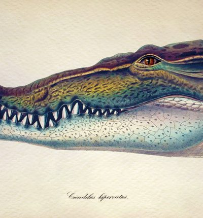 鱷魚 Crocodile