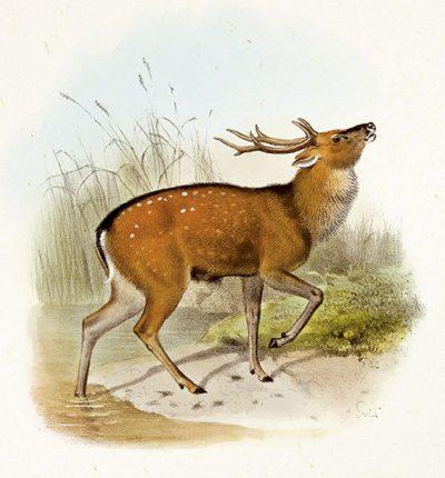formosan-sika-deer
